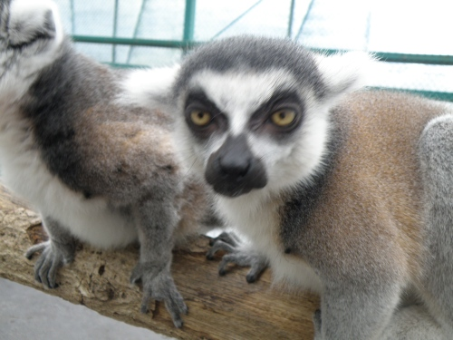Mr. Lemur is not very happy!